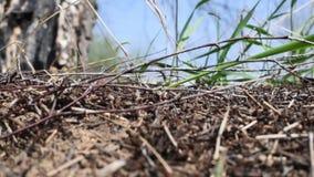 Las hormigas en el hormiguero después de la hibernación viven sus asuntos