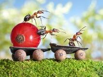 Las hormigas entregan la pasa roja con el acoplado, trabajo en equipo Imagen de archivo libre de regalías