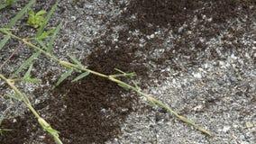 Las hormigas han encontrado un botín para comer almacen de metraje de vídeo