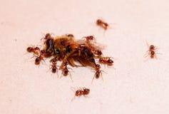 Las hormigas llevan la abeja, hormiga fuerte Fondo de la falta de definición Fotos de archivo libres de regalías