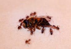 Las hormigas llevan la abeja, hormiga fuerte Fondo de la falta de definición Fotos de archivo
