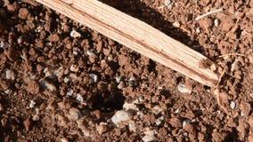 Las hormigas negras grandes están saliendo de la tierra metrajes