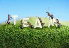 Las hormigas que construyen palabra team con las cartas, trabajo en equipo Imágenes de archivo libres de regalías