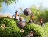 ¡Las hormigas quiebran las tuercas con la piedra, manos apagado! Fotos de archivo