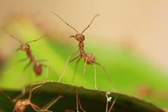 Las hormigas rojas Foto de archivo libre de regalías