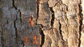 Las hormigas rojas caminan en fila en la corteza de árboles, con luz del sol por la mañana la hormiga es un pequeño insecto almacen de metraje de vídeo