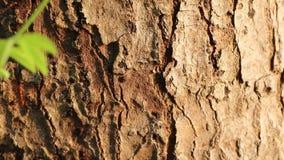 Las hormigas rojas caminan en fila en la corteza de árboles por la mañana almacen de metraje de vídeo