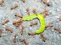 Las hormigas rojas capturaron una oruga Fotos de archivo