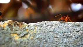 Las hormigas rojas consiguen su larva de la comida, jején, insecto Macro metrajes