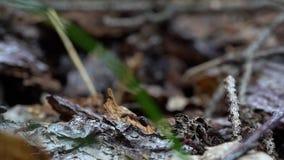 Las hormigas rojas corren alrededor y construyen su hormiguero en un día caliente en el primer macro del bosque almacen de video