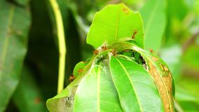 Las hormigas rojas están trabajando en la jerarquía