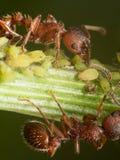 Las hormigas rojas reúnen pequeños áfidos verdes en tronco de la planta verde con negro Foto de archivo libre de regalías