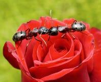 Las hormigas se besan en se levantaron Imagen de archivo libre de regalías