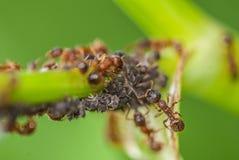 Las hormigas se cierran para arriba imagen de archivo libre de regalías