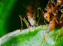Las hormigas son útiles para la agricultura orgánica foto de archivo
