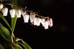 Las hormigas se arrastran en las pequeñas flores acampanadas en un bosque oscuro Imagenes de archivo