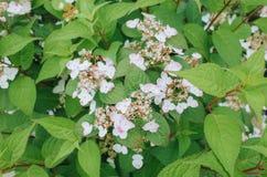 Las hortensias blancas del lacecap florecen foto de archivo libre de regalías