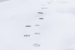 Las huellas del perro en la nieve Foto de archivo libre de regalías
