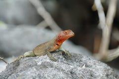 Las Islas Galápagos Lava Lizard (albemarlensis de Microlophus) Fotografía de archivo libre de regalías