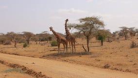 Las jirafas africanas de la reserva dos de Samburu FROTAN cara a cara con sus cuellos almacen de video