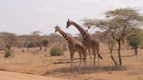 Las jirafas africanas muestran dulzura y aman para uno a la frotación sus cuellos almacen de video