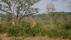 Las jirafas africanas salvajes de la manada est?n en los arbustos verdes de la selva almacen de video