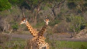 Las jirafas africanas salvajes pastan en el arbusto verde en la reserva africana almacen de metraje de vídeo
