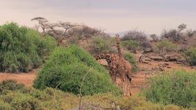 Las jirafas comen las hojas verdes del arbusto en la sabana africana almacen de metraje de vídeo