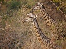 Las jirafas de Thornicroft Imágenes de archivo libres de regalías