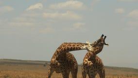 Las jirafas dedicadas a una exhibición ritualized de la dominación llamaron el collarino almacen de video