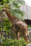 Las jirafas en el parque zool?gico comen las hojas fotos de archivo libres de regalías