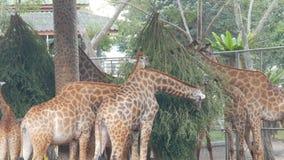 Las jirafas en parque zoológico caminan alrededor de la pajarera y comen metrajes