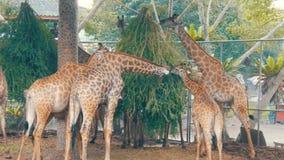 Las jirafas en parque zoológico comen en pajarera metrajes