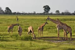 Las jirafas en rives el borde Fotos de archivo