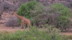 Las jirafas entran en la sabana africana, Samburu, comiendo las hojas de los árboles almacen de video