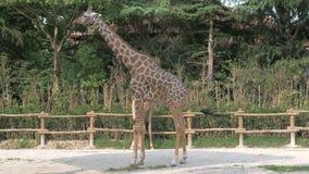 Las jirafas están caminando en parque zoológico en día de verano soleado metrajes