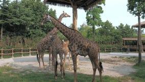 Las jirafas están caminando en parque zoológico en día de verano soleado almacen de video