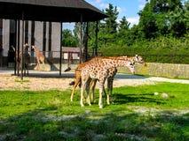 Las jirafas hermosas pastan en la hierba - más jirafas en la foto imagen de archivo libre de regalías