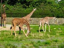 Las jirafas hermosas pastan en la hierba - m?s jirafas en la foto fotos de archivo