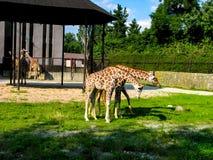 Las jirafas hermosas pastan en la hierba - m?s jirafas en la foto fotografía de archivo