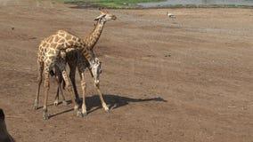 las jirafas 4k dos utilizan cuellos y las cabezas para luchar en el parque zoológico Bangkok de Safari World almacen de video