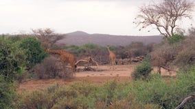 Las jirafas pastan las hojas verdes del arbusto en la sabana africana en la estación seca almacen de metraje de vídeo
