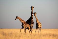 Las jirafas por tarde suave se encienden en hierba amarilla Imagen de archivo