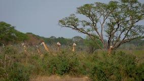 Las jirafas salvajes de la manada están en los matorrales verdes de la selva almacen de metraje de vídeo