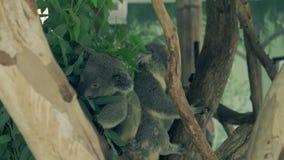 Las koalas minúsculas suben y saltan en árbol de eucalipto grueso verde metrajes