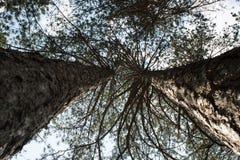 Las korona drzewo, bagażniki drzewa heavenward w s Zdjęcie Stock