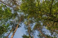 Las korona drzewo, bagażniki drzewa heavenward w s Obrazy Stock