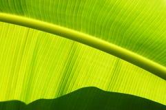Las líneas asombrosas ofgreen la hoja del plátano Fotografía de archivo