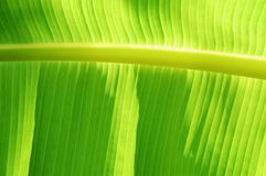 Las líneas asombrosas ofgreen la hoja del plátano Fotos de archivo libres de regalías