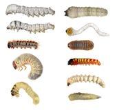 Las larvas de insecto (orugas) fijaron imagenes de archivo